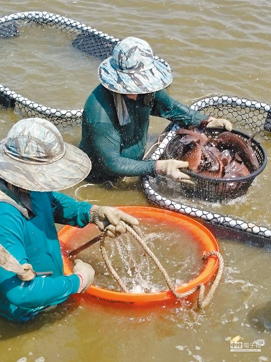如何將農漁產賣出去,是韓國瑜考驗之一,圖為屏東佳冬石斑魚。(屏東縣養殖漁業發展協會提供)