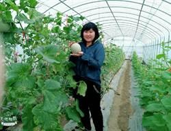 青農回鄉推有機洋香瓜 今年7月取得成大有機認證