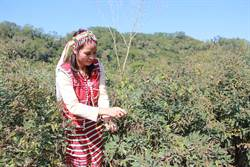 營養價值超高 樹豆1斤可賣1000元