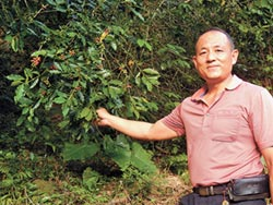 百年老樹復育 橫鹿咖啡飄香