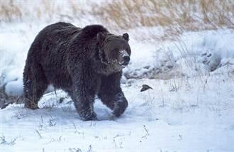 暖化引熊趴趴走?婦家門遇熊慘死