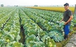 高麗菜每公斤4元 農民剉咧等