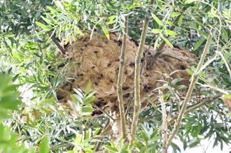 影》嚇死人!巨無霸黃腳虎頭蜂窩 巢長達130公分!
