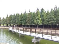 落羽松季節到 六甲公所推慢遊小旅行