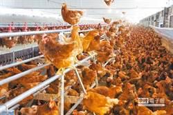 直升機低空飛過 養殖場364隻雞死光光