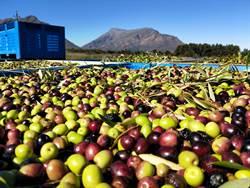限量來台!產地農莊直送   安坦地100%冷壓橄欖油momo網購獨賣