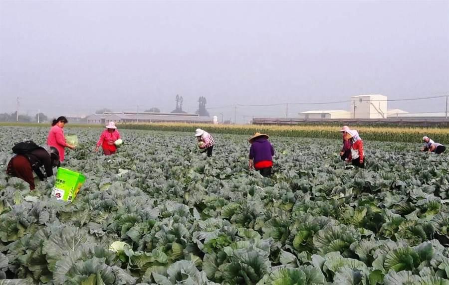 雲林縣許多高麗菜園上周末開放低價甚至免費採菜。(周麗蘭攝)