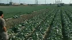 影》高麗菜賤賣1公斤4元 台商籲菜農緊跟韓國瑜