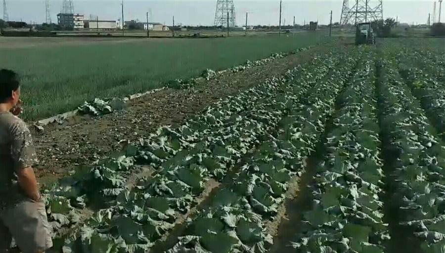 吳姓菜農目睹自家種的高麗菜變成綠肥。(資料照片 周麗蘭攝)