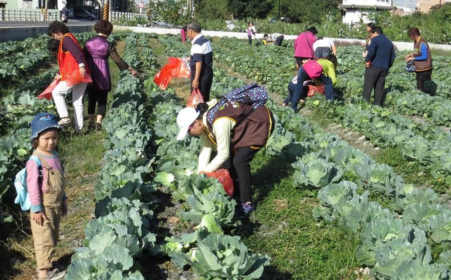 圖為高麗菜價崩跌,二水農會栽種的高麗菜5日開放民眾「愛心」自採。(資料照片 鐘武達攝)