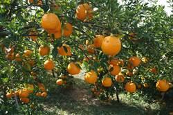 公老坪12/9橘子野餐派對 椪柑採果吃到飽