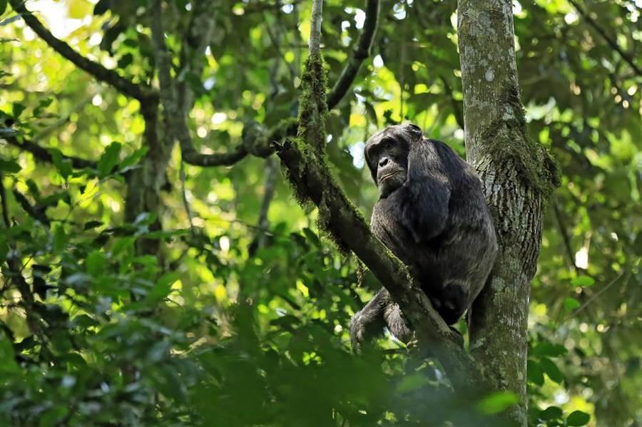 美實驗用猩猩遭棄置 放生孤島變惡霸還驚傳會吃人!(示意圖/達志影像)