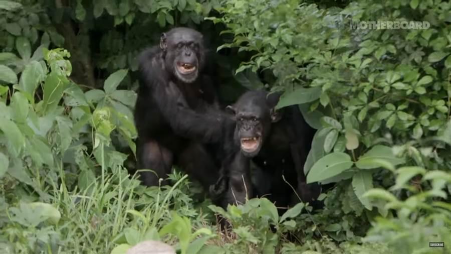 看到有人接近這些黑猩猩會變得極具攻擊性(圖/翻攝自影片)