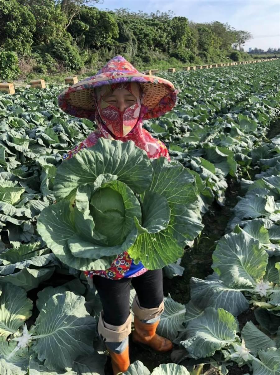 東森慈善基金率先用100萬採購111噸高麗菜,約4萬4440顆,免費分送給東森集團全體員工。圖:業者提供
