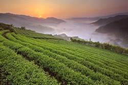坪林茶花暖冬開  周末親子茶香趣
