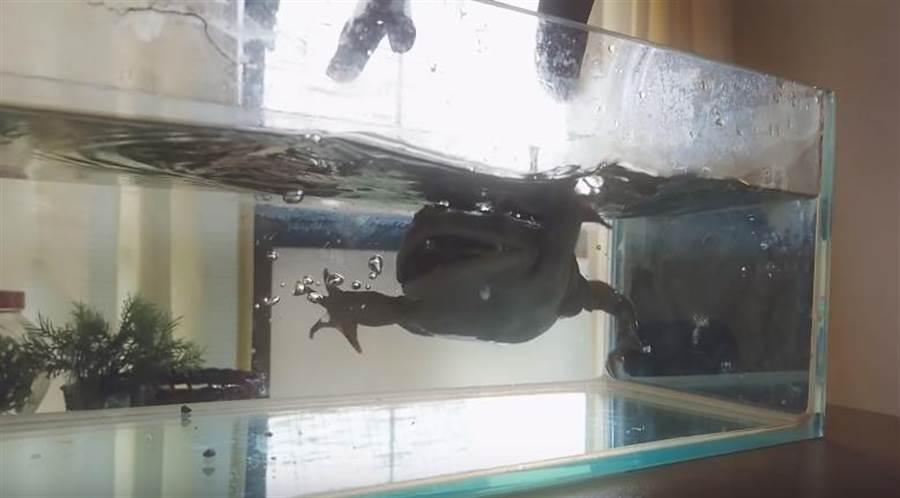 蛙蛙入水瞬間逗笑一票網友。(圖片翻攝自YouTube/れぷとみん)