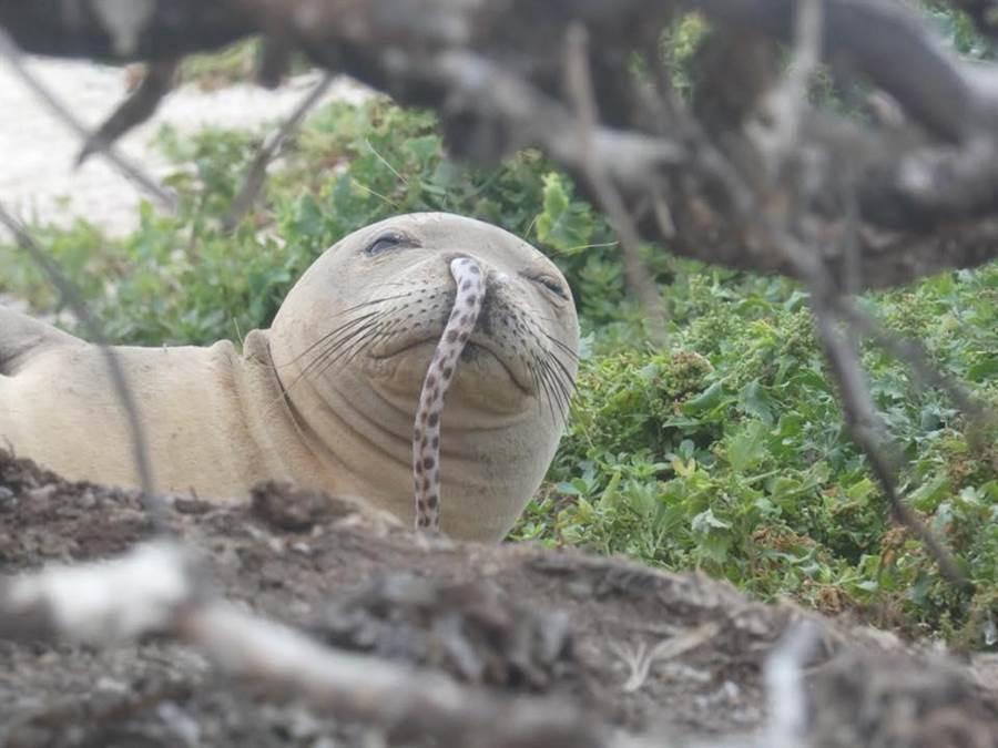 意外捕捉鼻孔掛一條「鰻魚鼻涕」…慵懶海豹蠢萌模樣現形!(圖/翻攝自臉書《Hawaiian Monk Seal Research Program》)