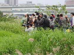 候鳥報到!華江雁鴨季逾千人迎「嬌客」