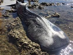 瀕危保育類鯨鯊 屏東車城海域擱淺死亡