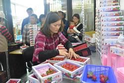 力抗草莓中盤價下跌  大湖農會輔導精緻分級共同運銷