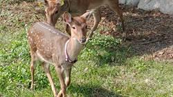 睽違一年 小鹿見面會周六登場