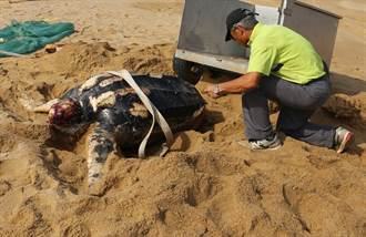 珍稀革龜魂斷金門海域  送交學術研究製作標本