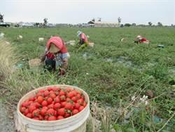 禽畜糞有機質肥料助改良土壤 蕃茄農:人力短缺才是重點