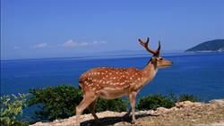 連江大坵梅花鹿成觀光亮點 縣府朝生態旅遊度假島開發