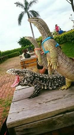 重現侏儸紀!他家砂巨蜥會站立睥睨群倫
