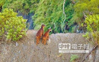 富源山區長鬃山羊 生態告急
