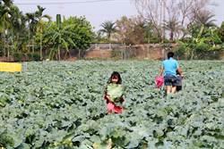 屏東縣南州高麗菜1顆賣10塊 農友:歡迎大家隨意摘