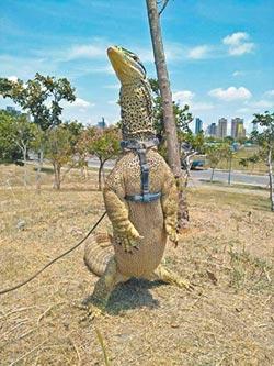 寵物砂巨蜥站起來 全球驚奇
