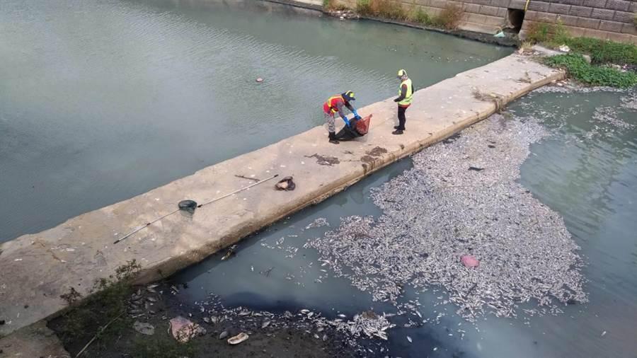 清潔隊員強忍腥臭打撈暴斃魚屍,3天已清出近2000公斤死魚。(王文吉翻攝)