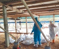 彰化爆禽流感 撲殺近7000土雞