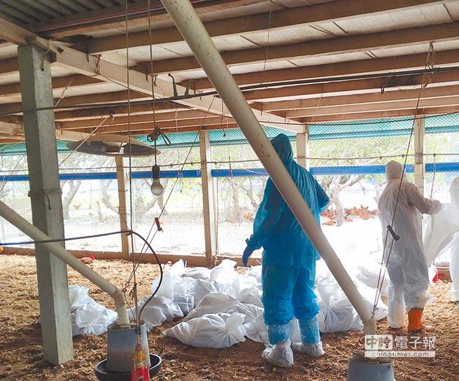 彰化縣鹿港鎮一處土雞場被確診感染H5N2亞型高病原性禽流感病毒,防疫人員16日進行全場撲殺及消毒,共撲殺6958隻土雞。(彰化縣政府提供)