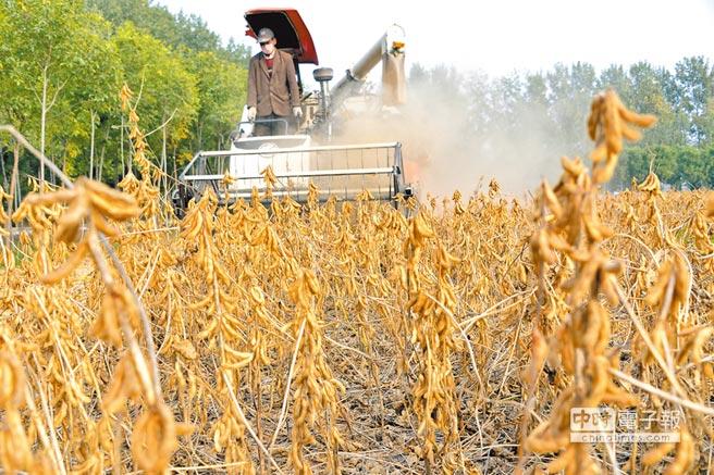 大陸最近開始購買美國大豆。圖為山東聊城農民收割大豆。(新華社資料照片)