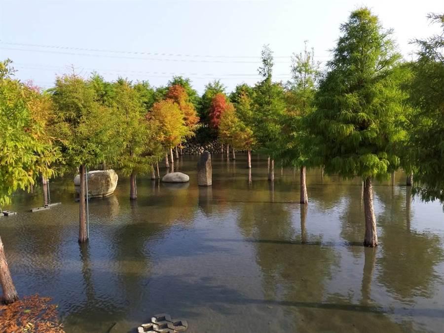 后里區泰安落羽松林轉紅中,倒映在水中宛如仙境,吸引遊客拍照打卡。(陳淑娥攝)