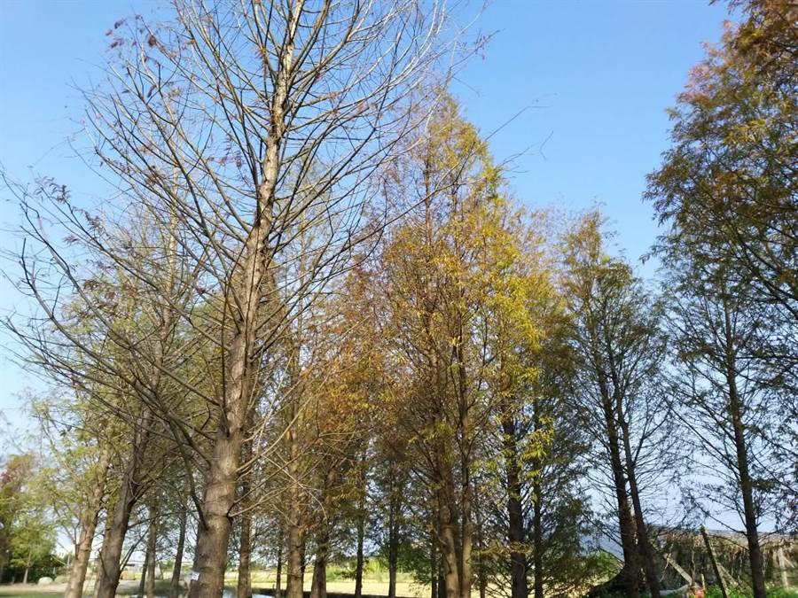 后里區泰安落羽松林呈現冬日蕭瑟氣息,吸引遊客拍照打卡。(陳淑娥攝)