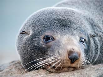 殘忍!6隻海狗寶寶慘遭集體斬首 棄屍沙灘