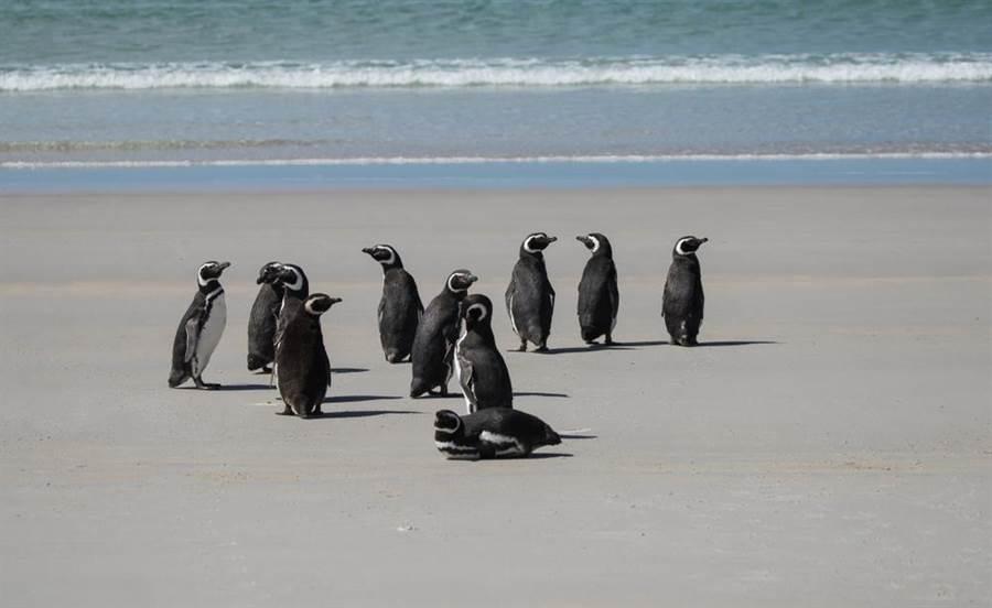 佩布爾島上有大量的企鵝居住(圖/達志影像)