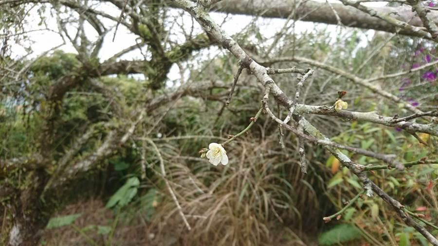 楠西區梅嶺風景區目前梅花開不到1成,若氣候持續變冷,預估今年1月上旬才有機會欣賞的到梅花盛開美景。(李其樺攝)