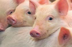 大陸研究基因工程豬 可對抗豬瘟病毒
