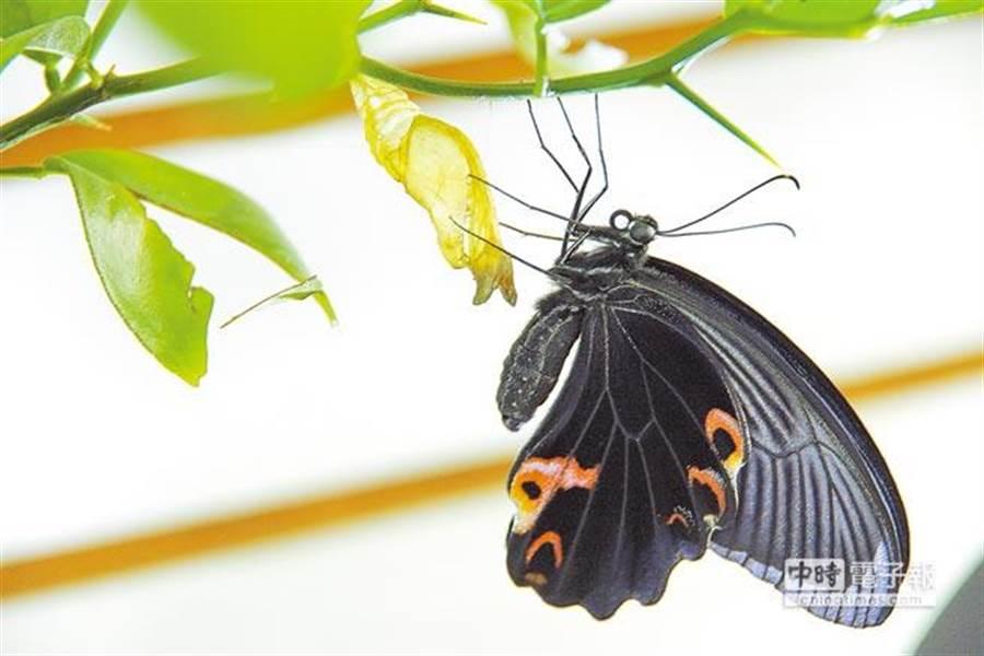 基隆市義二路「鋐昌投注站」10月2日有隻黑色大蝴蝶在牆壁上待了一整天都不走,豈料當晚就開出1億元頭獎,讓業者直呼是「財神來了!」,圖為示意圖,非當事蝴蝶。(中時資料照/陳里維提供)