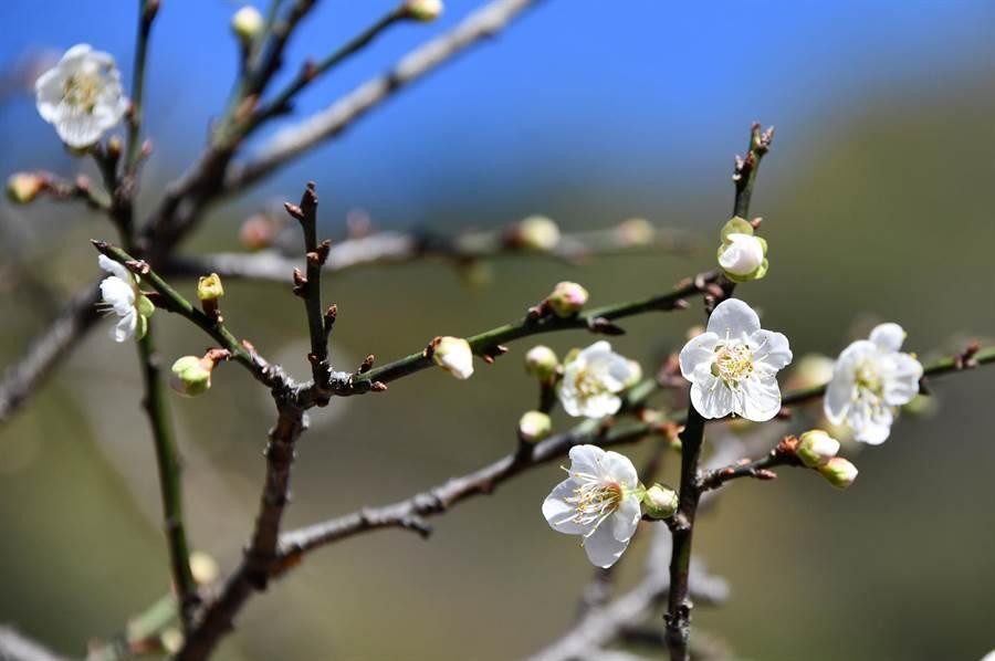 信義鄉的梅樹此刻大多還是含苞中,花期預估以元旦起前2周較佳;梅子夢工廠園區中,有一、兩棵開得較早,枝椏上已綻出不少花朵。(沈揮勝攝)