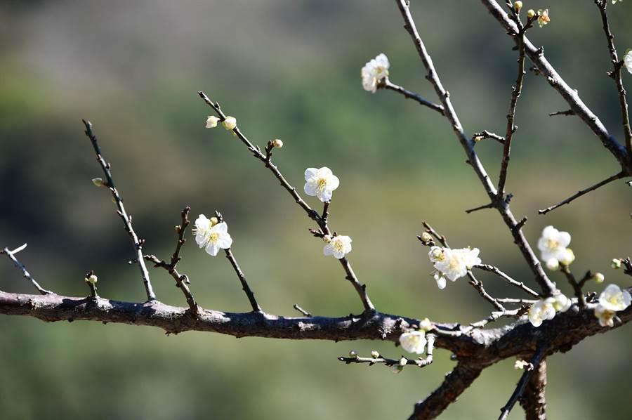 多數含苞待放,少數植株綻出花朵。(沈揮勝攝)