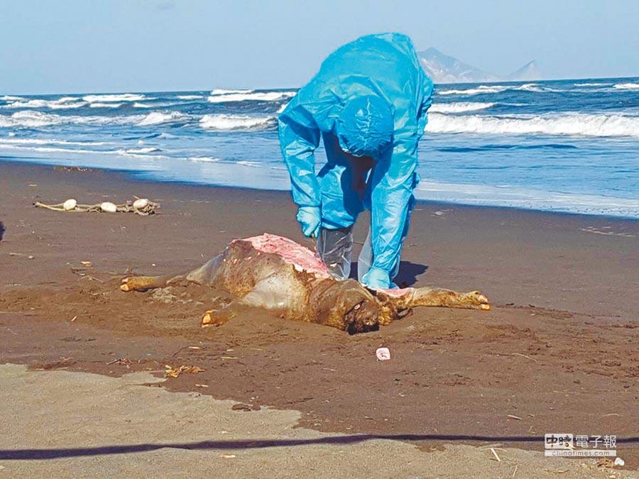 宜蘭五結海邊昨發現死豬,防檢人員封鎖現場後採樣,初步排除死豬與非洲豬瘟有關。(宜蘭縣政府提供)