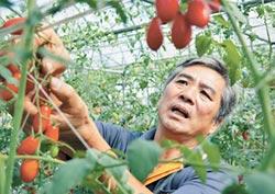 玉女小番茄上市 果農鬆口氣