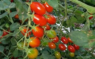 小番茄量產 新農人王凱平獲農改場競賽亞軍