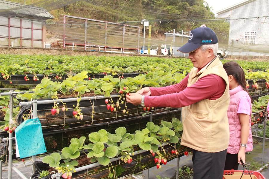 獅潭鄉草莓酸甜滋味與飽滿紅潤的模樣,廣受全國好評,至明年3月皆能在苗栗體驗採果樂趣。(何冠嫻攝)