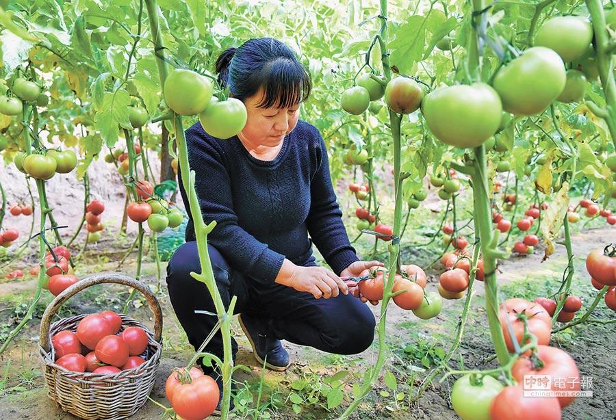 大陸全國人大常委會會議將審議《農村土地承包法》修正案草案。圖為河北工人在溫室大棚採番茄。(新華社資料照片)